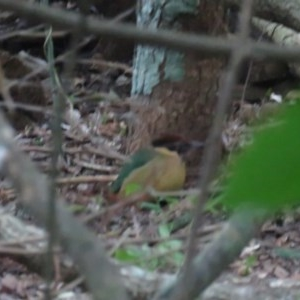 Pitta versicolor (Noisy Pitta) at Noosa National Park by Liam.m
