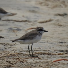 Charadrius mongolus (Lesser Sand Plover) at Noosa Heads, QLD - 29 Dec 2019 by Liam.m