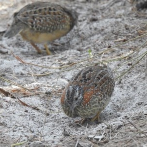 Turnix varius (Painted Button-quail) at Noosa National Park by Liam.m