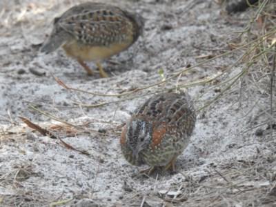 Turnix varius (Painted Button-quail) at Noosa National Park - 27 Jan 2020 by Liam.m