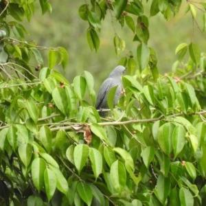 Coracina lineata (Barred Cuckoo-shrike) at Lake MacDonald, QLD by Liam.m