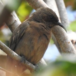 Myzomela obscura (Dusky Honeyeater) at Tinbeerwah, QLD by Liam.m