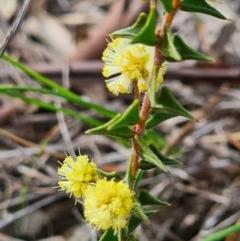 Acacia gunnii (Ploughshare Wattle) at Piney Ridge - 4 Sep 2020 by AaronClausen