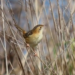 Cisticola exilis (Golden-headed Cisticola) at Jerrabomberra Wetlands - 4 Sep 2020 by RodDeb