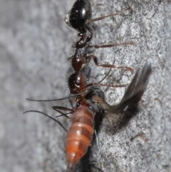 Myrmecorhynchus emeryi (Possum Ant) at ANBG - 28 Aug 2020 by TimL