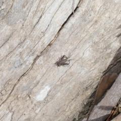 Eurepa marginipennis at ANBG - 28 Aug 2020