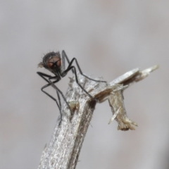 Empididae sp. (family) at ANBG - 28 Aug 2020