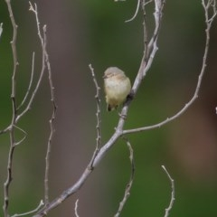Smicrornis brevirostris (Weebill) at Wodonga - 5 Sep 2020 by Kyliegw