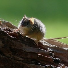 Antechinus flavipes (Yellow-footed Antechinus) at Wodonga - 5 Sep 2020 by Kyliegw