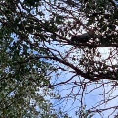 Callocephalon fimbriatum (Gang-gang Cockatoo) at Wolumla, NSW - 5 Sep 2020 by PatriciaDaly