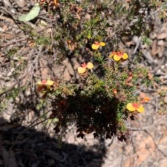 Dillwynia phylicoides (A Parrot-pea) at Gossan Hill - 5 Sep 2020 by JVR