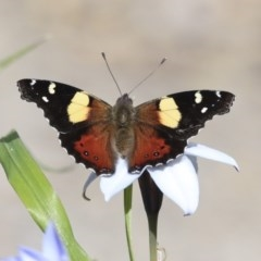 Vanessa itea (Yellow Admiral) at Higgins, ACT - 5 Sep 2020 by AlisonMilton