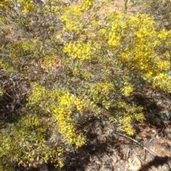 Acacia buxifolia subsp. buxifolia (Box-leaf Wattle) at Hughes, ACT - 6 Sep 2020 by jennyt