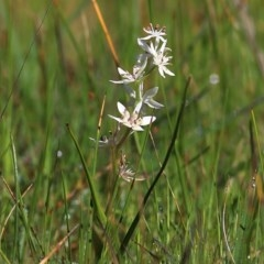 Wurmbea dioica subsp. dioica (Early Nancy) at Wodonga - 5 Sep 2020 by Kyliegw