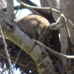 Trichosurus vulpecula (Common Brushtail Possum) at Umbagong District Park - 6 Sep 2020 by Christine