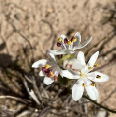 Wurmbea dioica subsp. dioica (Early Nancy) at Mount Mugga Mugga - 6 Sep 2020 by KL