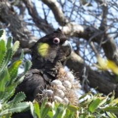 Calyptorhynchus funereus (Yellow-tailed Black-cockatoo) at Tura Beach, NSW - 3 Sep 2020 by LizAllen