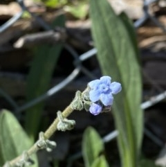 Cynoglossum australe (Australian Forget-me-not) at Mount Mugga Mugga - 6 Sep 2020 by KL