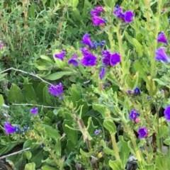 Echium plantagineum (Paterson's Curse) at Callum Brae - 6 Sep 2020 by YellowButton
