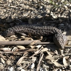 Tiliqua rugosa (Shingleback) at Mulligans Flat - 6 Sep 2020 by annamacdonald