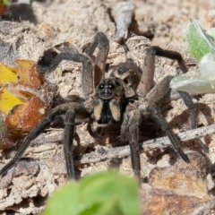Tasmanicosa sp. (genus) (Unidentified Tasmanicosa wolf spider) at Isaacs Ridge and Nearby - 6 Sep 2020 by rawshorty