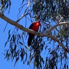 Alisterus scapularis (Australian King-Parrot) at Flea Bog Flat, Bruce - 6 Sep 2020 by JVR