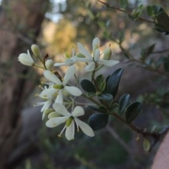 Bursaria spinosa (Native Blackthorn) at Rob Roy Range - 31 Mar 2020 by michaelb