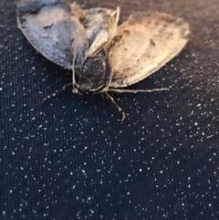 Proteuxoa (genus) (A Noctuid moth) at Aranda, ACT - 29 Aug 2020 by Jubeyjubes