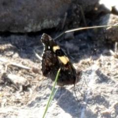 Vanessa itea (Yellow Admiral) at Tuggeranong Hill - 7 Sep 2020 by Owen