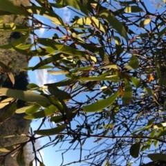 Amyema pendula subsp. pendula (Drooping Mistletoe) at Wattamolla, NSW - 23 Aug 2020 by WattaWanderer
