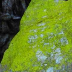 Unidentified Lichen (TBC) at Biamanga National Park - 22 Jul 2020 by Jackie Lambert