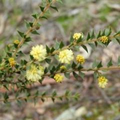 Acacia gunnii (Ploughshare Wattle) at Point 4081 - 5 Sep 2020 by MatthewFrawley