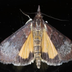 Uresiphita ornithopteralis at Ainslie, ACT - 5 Sep 2020