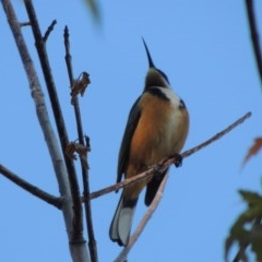 Acanthorhynchus tenuirostris (Eastern Spinebill) at Conder, ACT - 19 Apr 2020 by michaelb