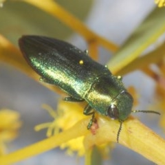 Melobasis sp. (genus) (Unidentified Melobasis jewel Beetle) at Black Mountain - 7 Sep 2020 by Harrisi