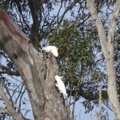 Cacatua galerita (Sulphur-crested Cockatoo) at O'Malley, ACT - 7 Sep 2020 by Mike