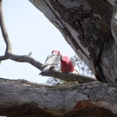 Eolophus roseicapillus (Galah) at O'Malley, ACT - 7 Sep 2020 by Mike