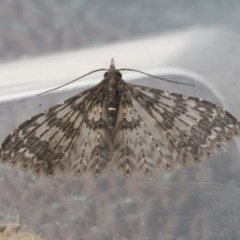 Alucita phricodes (A Many-plumed Moth) at Higgins, ACT - 8 Sep 2020 by AlisonMilton