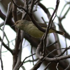 Acanthiza reguloides (Buff-rumped Thornbill) at Wodonga - 7 Sep 2020 by Kyliegw