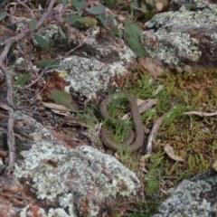 Pseudonaja textilis (Eastern Brown Snake) at Mount Majura - 8 Sep 2020 by petersan