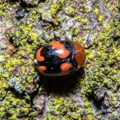 Ditropidus pulchellus (Leaf beetle) at ANBG - 8 Sep 2020 by Roger