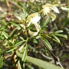 Clematis leptophylla at Gungaderra Grasslands - 7 Sep 2020