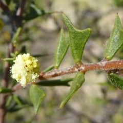 Acacia gunnii (Ploughshare Wattle) at Gungaderra Grasslands - 7 Sep 2020 by Dibble