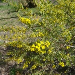 Acacia buxifolia subsp. buxifolia (Box-leaf Wattle) at Isaacs, ACT - 8 Sep 2020 by Mike
