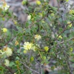 Acacia gunnii (Ploughshare Wattle) at Wanniassa Hill - 8 Sep 2020 by Mike