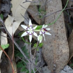 Wurmbea dioica subsp. dioica (Early Nancy) at Wanniassa Hill - 8 Sep 2020 by Mike