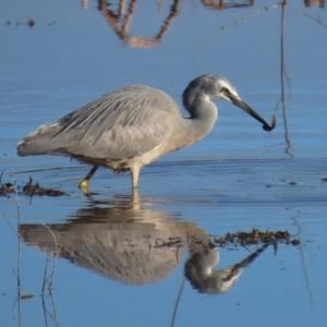 Egretta novaehollandiae at Jerrabomberra Wetlands - 5 Sep 2020