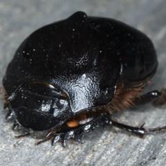 Onthophagus declivis at Ainslie, ACT - 9 Sep 2020
