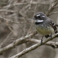 Rhipidura albiscapa (Grey Fantail) at Jerrabomberra Wetlands - 8 Sep 2020 by jbromilow50