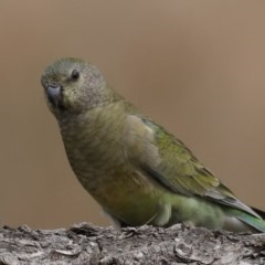 Psephotus haematonotus (Red-rumped Parrot) at Jerrabomberra Wetlands - 8 Sep 2020 by jbromilow50
